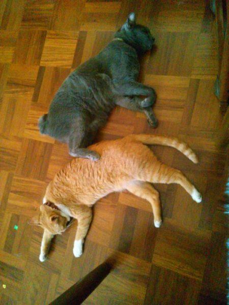 躍動感あふれる寝相の黄色猫きなこと灰色猫ししゃも