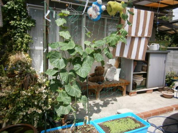 プランターで野菜栽培【はつか大根とカブ・ついでに猫草】