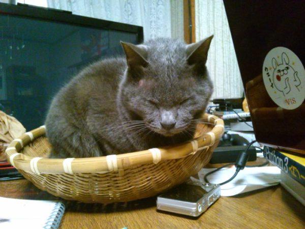 灰色猫ししゃもの嘔吐が止まらない(;´・ω・)