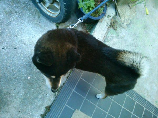 黒柴犬の大ちゃんとアップルパイ