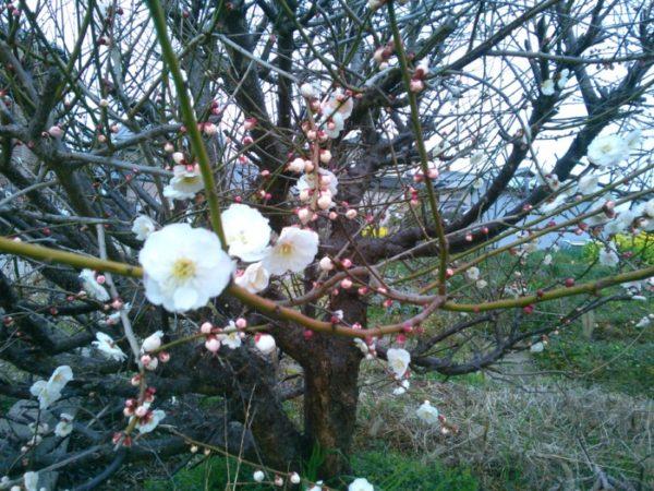 梅も咲いてる田舎道