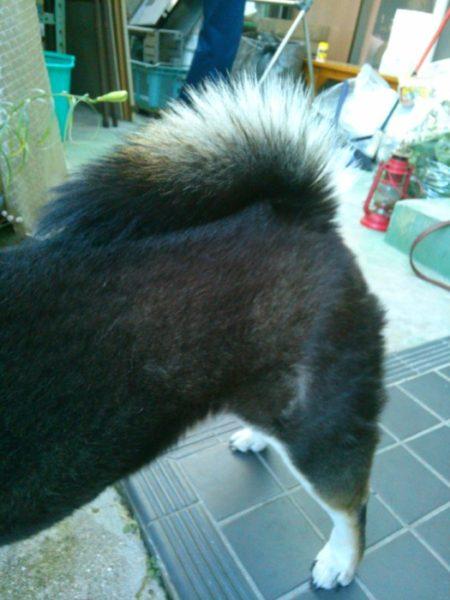 黒柴犬の大ちゃんのしっぽ。