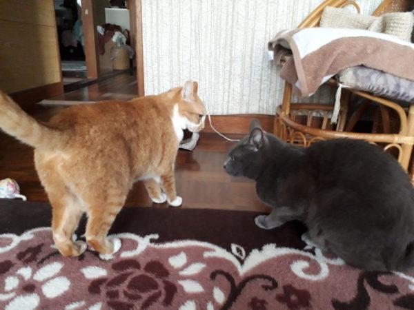 灰色猫ししゃもに逆ギレする黄色猫きなこ