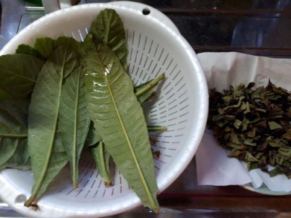 自家製柿の葉茶を作ってみた。
