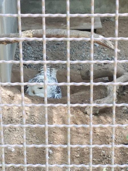 姫路市立動物園に行ってきた。シロフクロウ