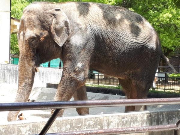 姫路市立動物園に行ってきた。ゾウの姫子
