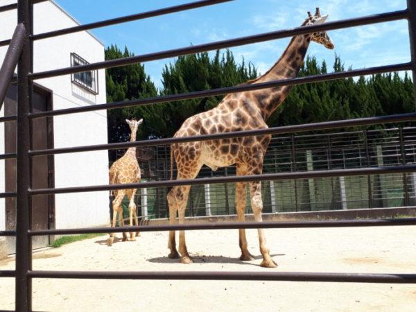 姫路市立動物園に行ってきた。キリン