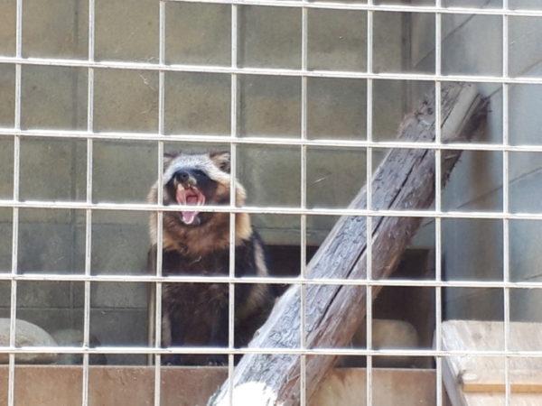 姫路市立動物園に行ってきた。タヌキ、あくび