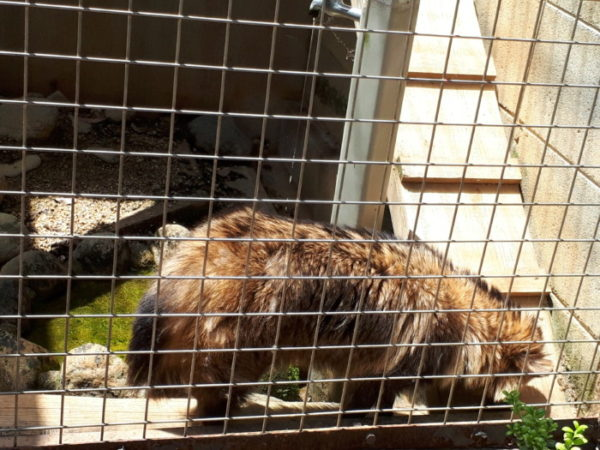 姫路市立動物園に行ってきた。タヌキ