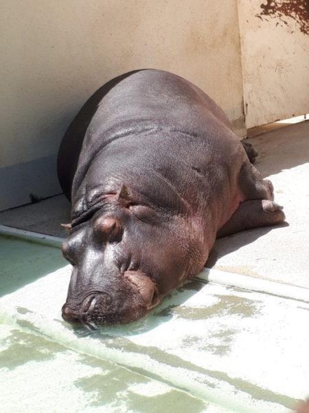 姫路市立動物園に行ってきた。昼寝するカバ