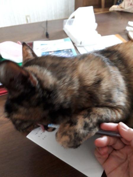 メモ書きを邪魔するさび猫しめじ