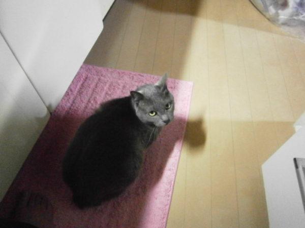 台所でなんか物欲しそうにしてる灰色猫ししゃも