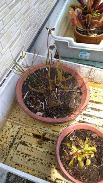 スイカの苗が植えて欲しそうにこちらを見ていたので、元農家の旦那にアドバイスもらいながら植えてみた。