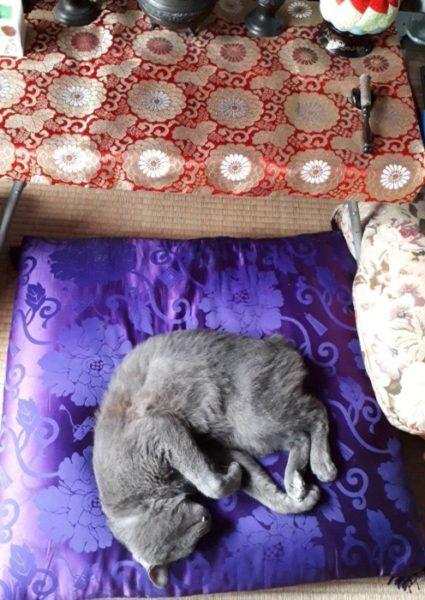 お仏壇前の高級お座布団でぐったりする灰色猫ししゃも