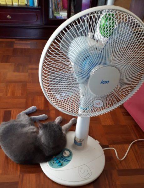 扇風機の根元でくつろぐ灰色猫ししゃも