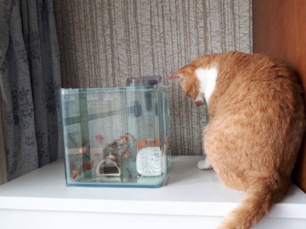 黄色猫きなことピンポンパールの初対面