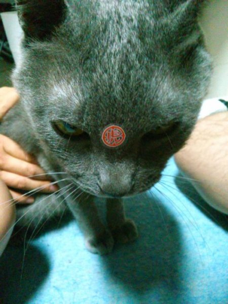 寅になった灰色猫ししゃも