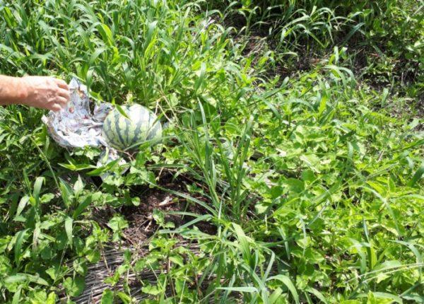 お盆の間に自分で植えたスイカ食べた