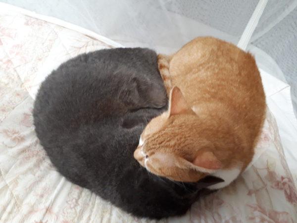 灰色猫ししゃもと黄色猫きなこの危険な寝相。