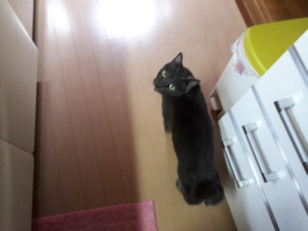 灰色猫ししゃも、台所でねだる