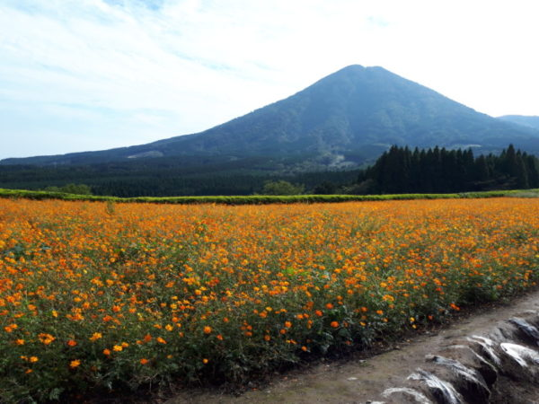 生駒富士をバックにコスモス畑