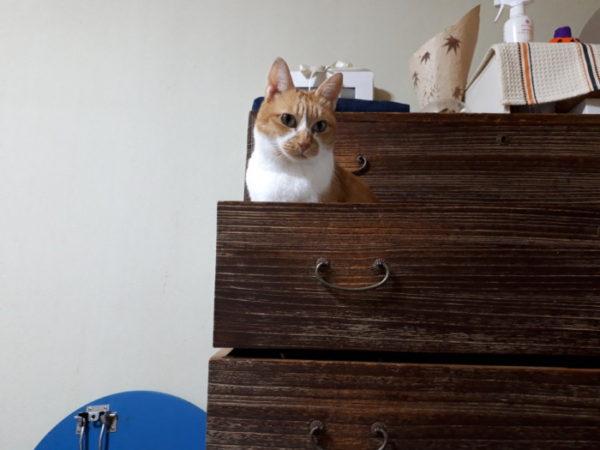 桐だんすに収まる黄色猫きなこ
