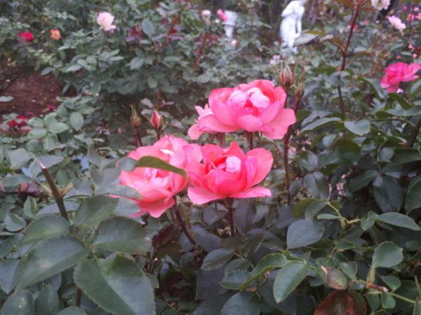 秋の姫路ばら園に行ってきた