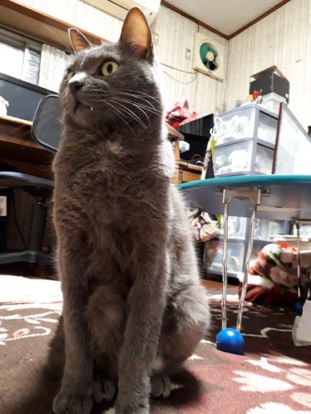 変な座り方の灰色猫ししゃも