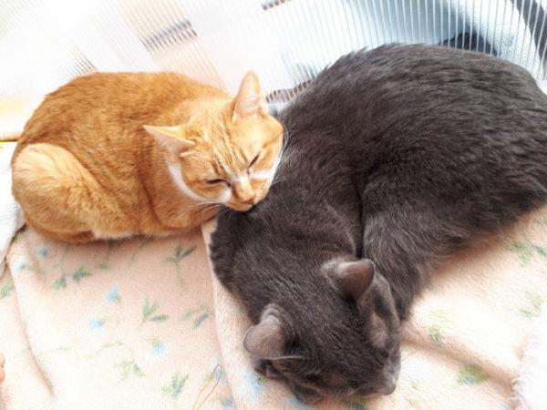 黄色猫きなこと灰色猫ししゃも