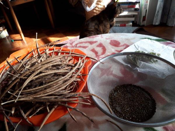 今年もマメ茶ができました【自家製ハブ茶を種からDIY】