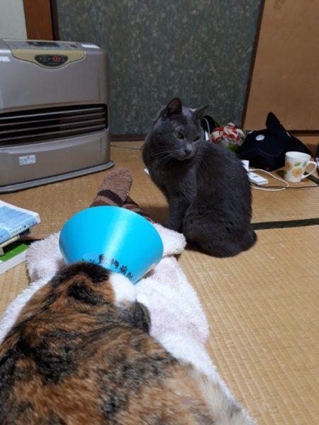 猫の避妊手術【保護猫なめこの場合】