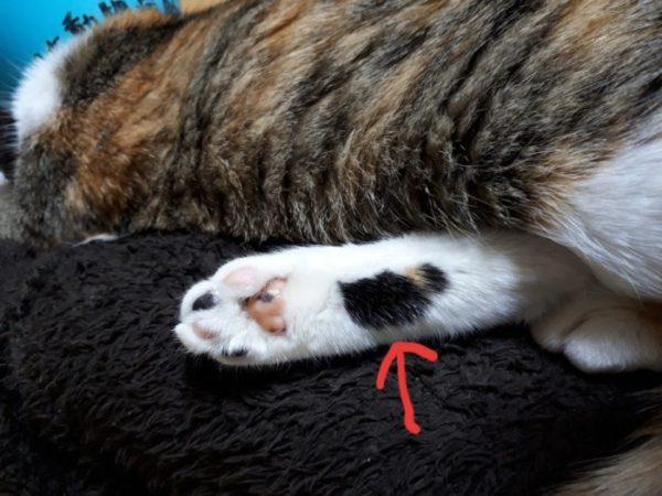 三毛猫なめこの足の裏