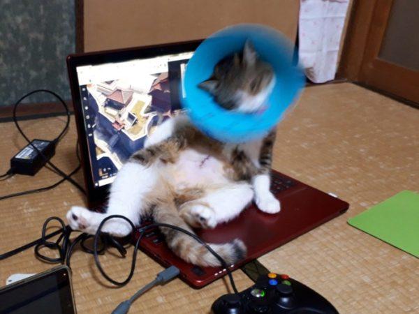 パソコンに乗って腹を舐めたいエリザベスカラーしてる三毛猫なめこ