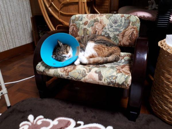 猫缶のゴミを荒らしてた三毛猫子猫を保護