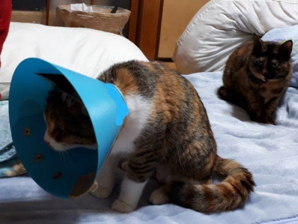 嫉妬の目を向けるサビ猫しめじ