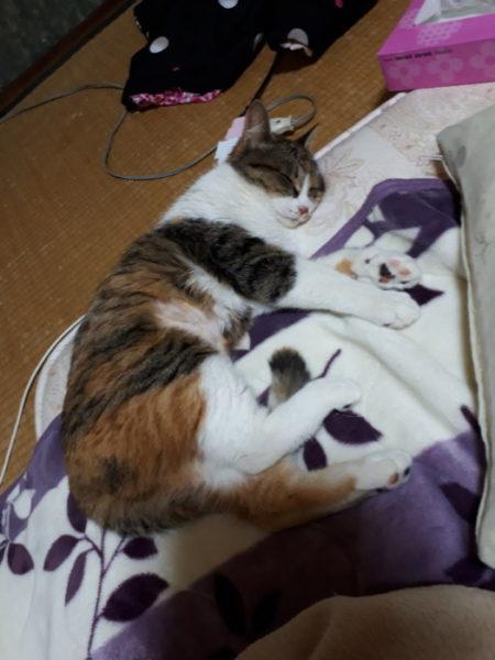 眠る三毛猫なめこ