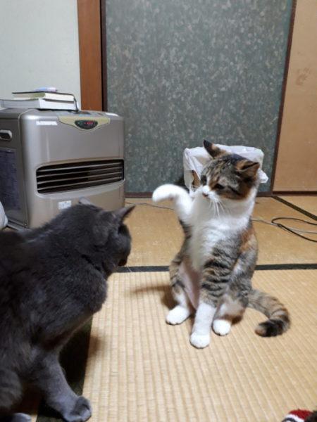 灰色猫ししゃもにケンカ売る縞三毛なめこ