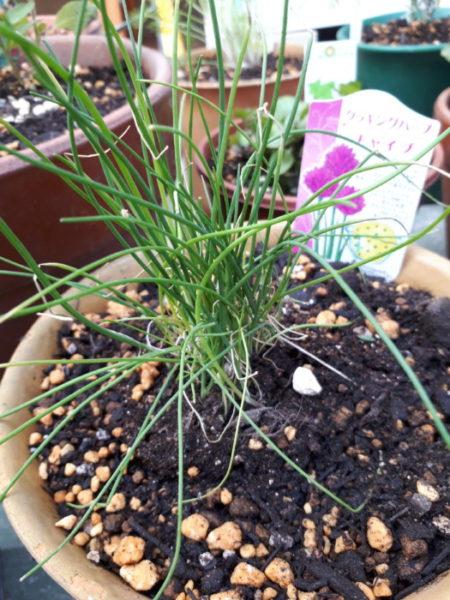 春に向けてハーブ苗の植え替え。チャイブ