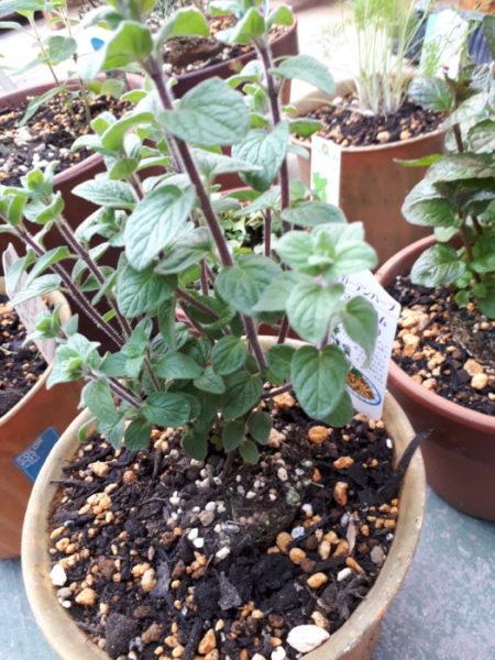 春に向けてハーブ苗の植え替え。マジョラムシリアカ