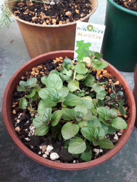 春に向けてハーブ苗の植え替え。オレンジミント