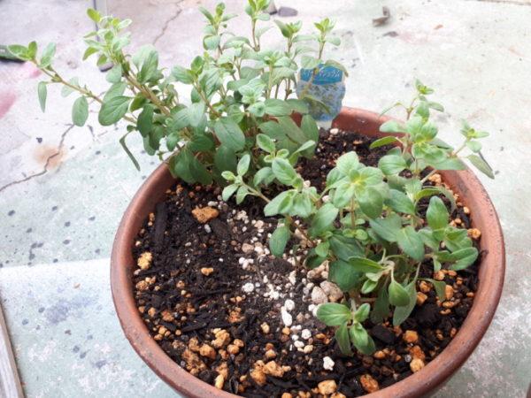 春に向けてハーブ苗の植え替え。スイートマジョラム