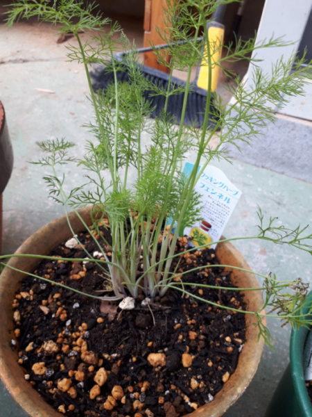 春に向けてハーブ苗の植え替え。フェンネル