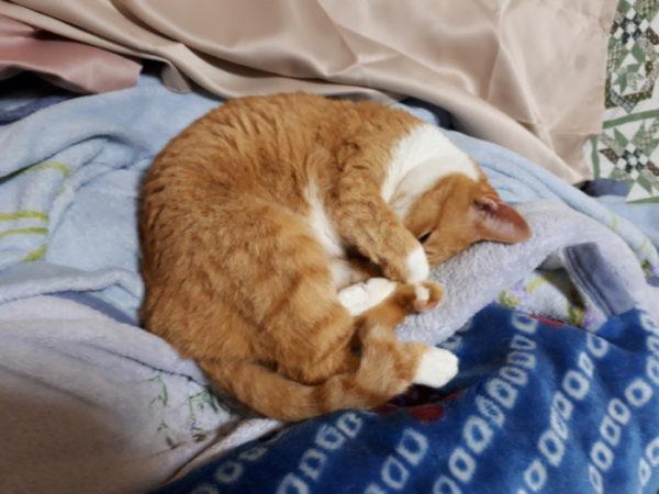 丸くなって眠る黄色猫きなこ
