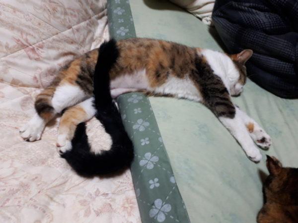 遊び疲れて眠る三毛猫なめこ