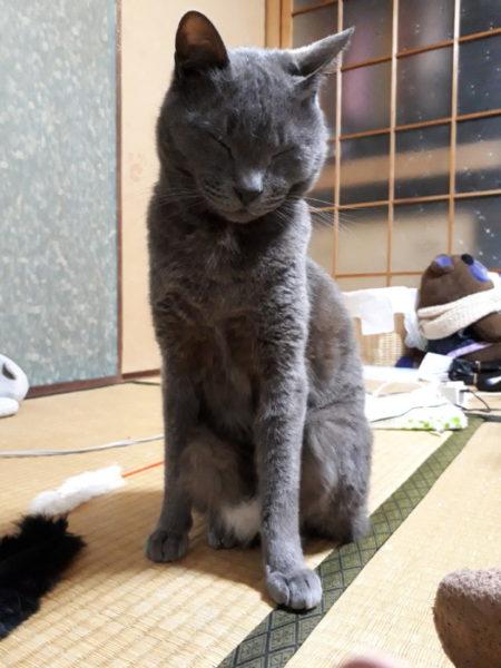 変な座り方する灰色猫ししゃも