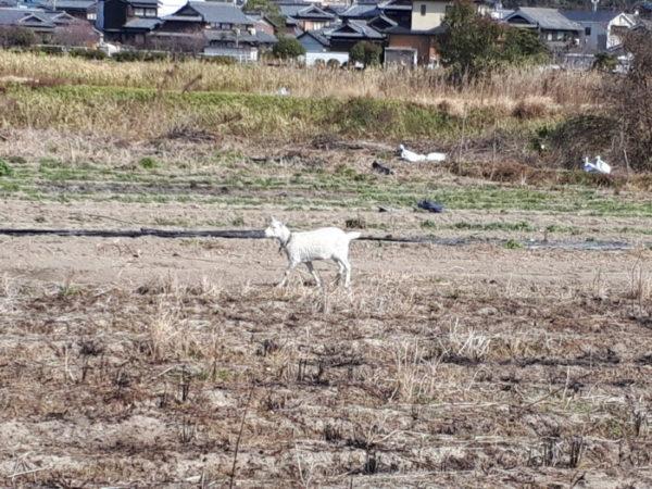 唐突に田舎の畑にヤギがいた