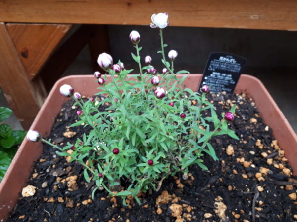 春に向けてハーブ苗の植え替え。花かんざし