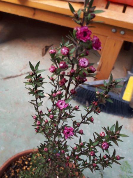 春に向けてハーブ苗の植え替え。ギョリュウバイ