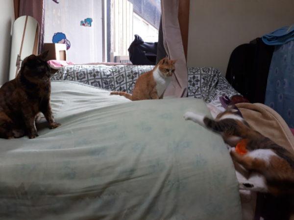 一人遊びする縞三毛なめこと冷製な黄色猫きなことサビ猫しめじ