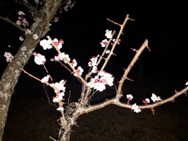 ライトアップの梅の花